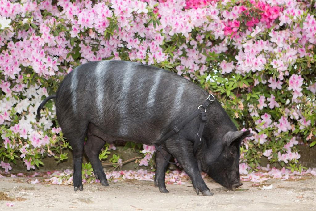 Mascot & Distillery Pig